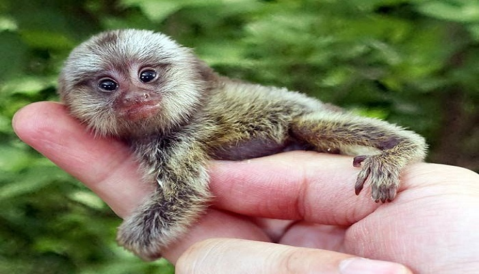 Pygmy marmoset-Netmarkers