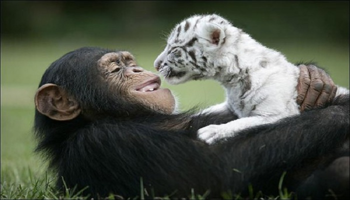 Tiger cubs and chimpanzee friendship-Netmarkers