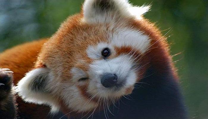 cute-red-panda-Netmarkers