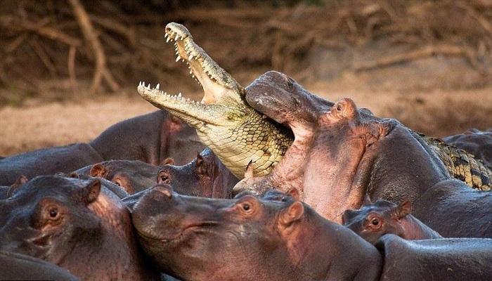 hippopotamus -bite-force-Netmarkers