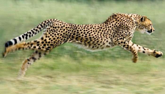 Cheetah-Netmarkers