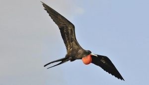 Frigate bird-Netmarkers