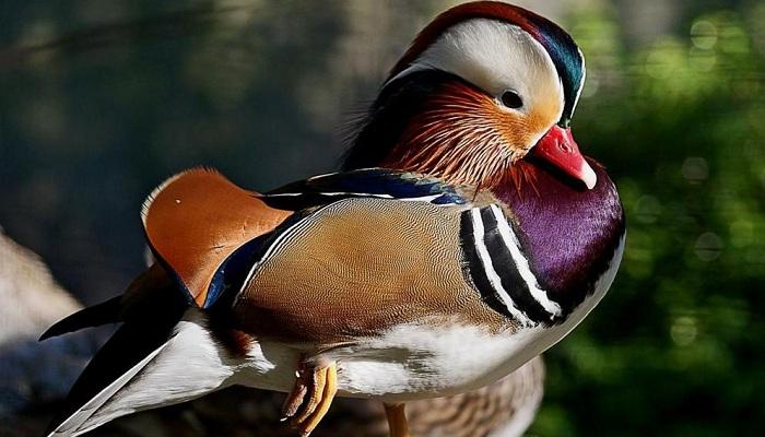 Mandarin duck-Netmarkers