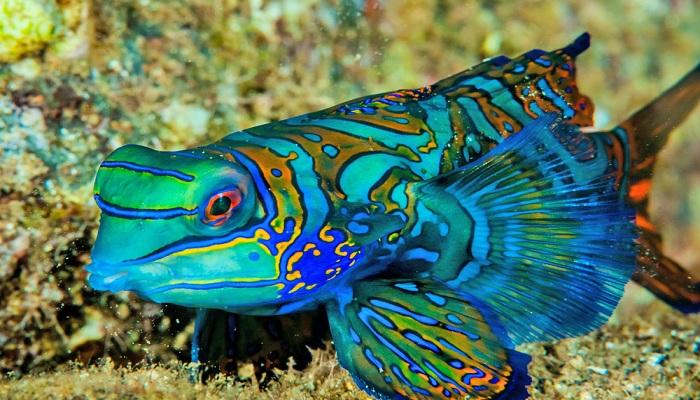 Mandarin fish-Netmarkers