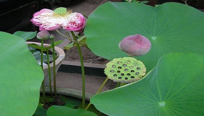 lotus fruit-Netmarkers