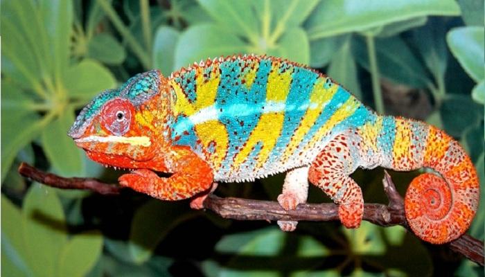 Panther chameleons-Netmarkers