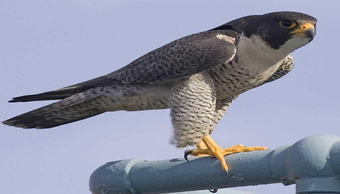 Peregrine falcon -Netmarkers