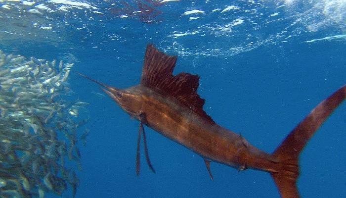 Sail fish-Netmarkers