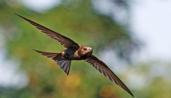 Spine tailed swift-Netmarkers