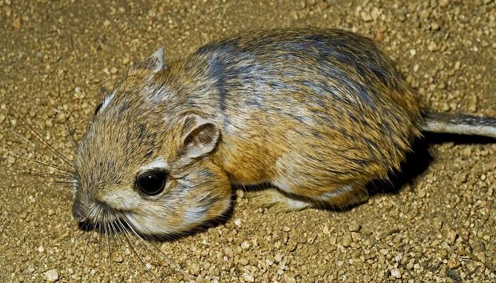 kangaroo rat-Netmarkers